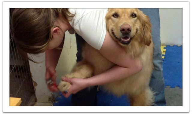 Golden retriever getting nails clipped