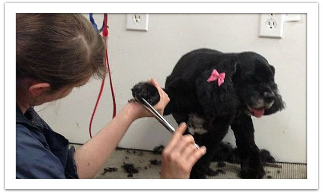 Dog getting fur trimmed